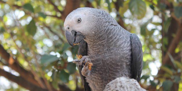 Самые умные птицы в мире: африканские серые попугаи