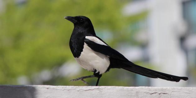 Самые умные птицы на земле: сороки