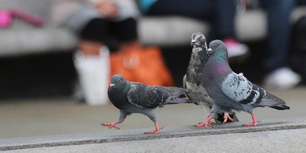 Самые умные птицы в мире: голуби