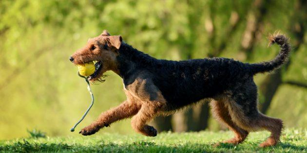 Гипоаллергенные собаки: эрдельтерьер