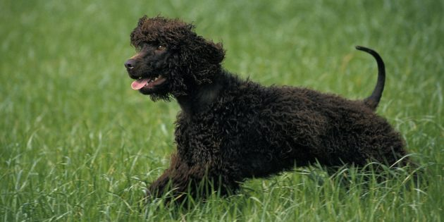 Гипоаллергенные породы собак: ирландский водяной спаниель