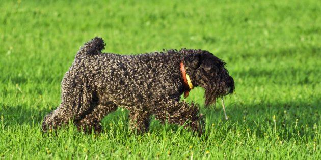 Гипоаллергенные породы собак: керри-блю-терьер