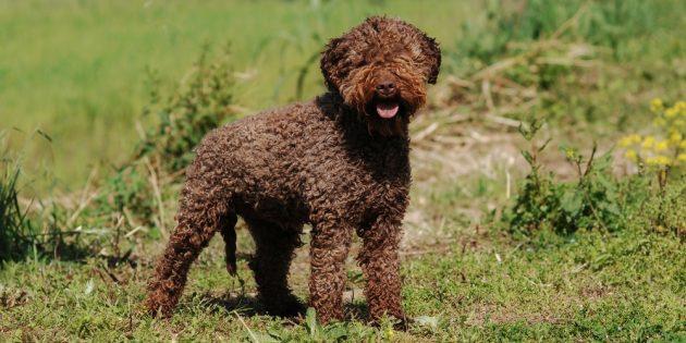 Гипоаллергенные породы собак: лаготто-романьоло