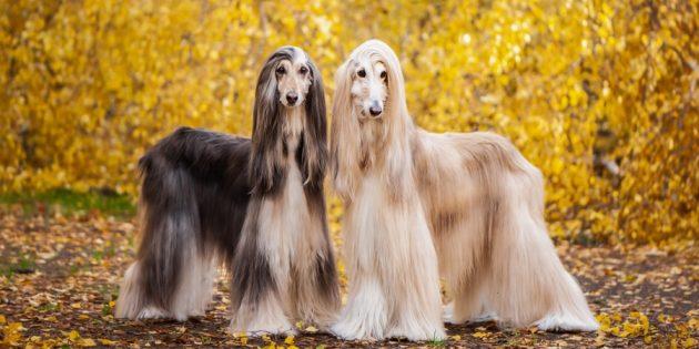 Гипоаллергенные породы собак: афганская борзая