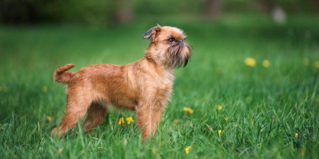 Гипоаллергенные породы собак: брюссельский гриффон