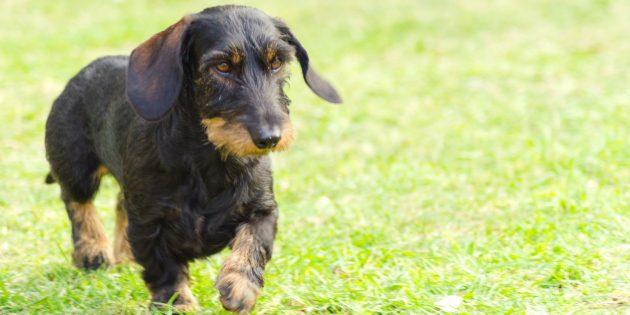 Гипоаллергенные собаки: жесткошёрстная такса