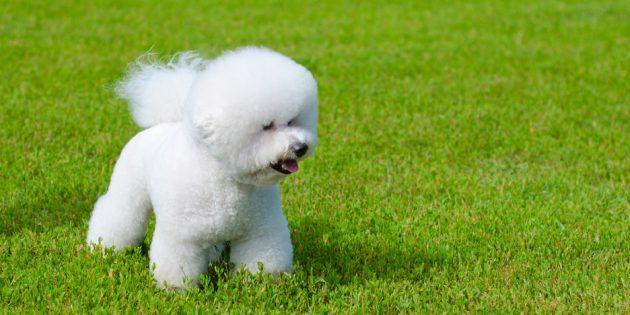Гипоаллергенные породы собак: бишон фризе