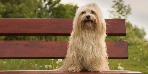 Гипоаллергенные породы собак: гаванский бишон
