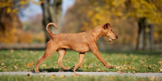 Гипоаллергенные собаки: ирландский терьер