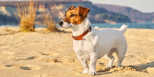 Гипоаллергенные собаки: джек-рассел-терьер