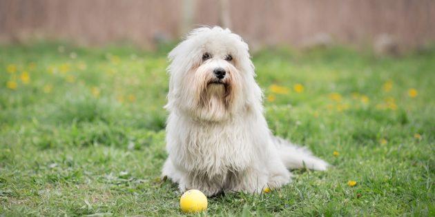 Гипоаллергенные породы собак: котон-де-тулеар