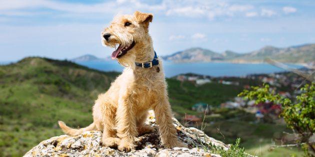 Гипоаллергенные собаки: лейкленд-терьер