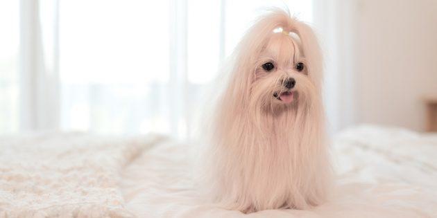 Гипоаллергенные породы собак: мальтийская болонка