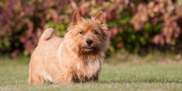 Гипоаллергенные собаки: норвич-терьер