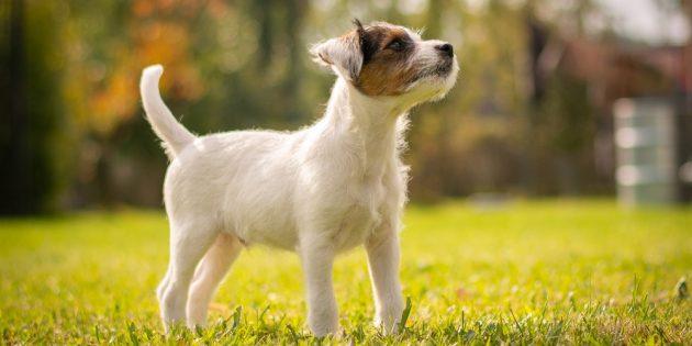 Гипоаллергенные собаки: парсон-рассел-терьер