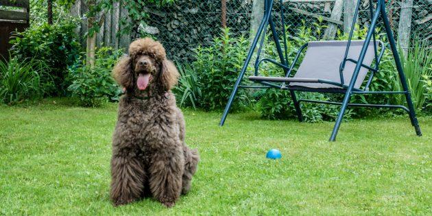 Гипоаллергенные породы собак: пудель