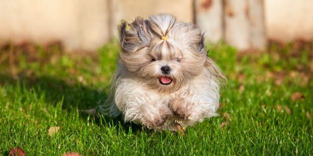 Гипоаллергенные породы собак: ши-тцу