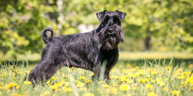 Гипоаллергенные собаки: шнауцеры