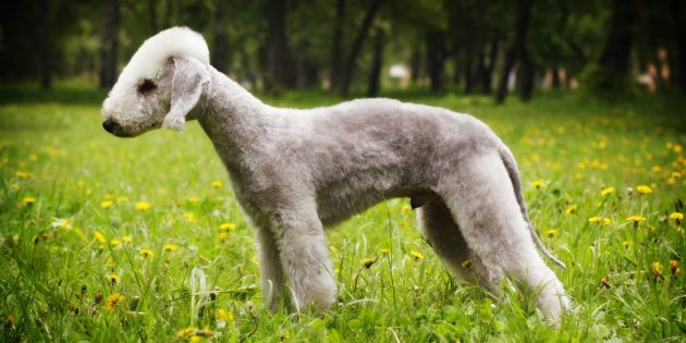 Гипоаллергенные породы собак: бедлингтон-терьер