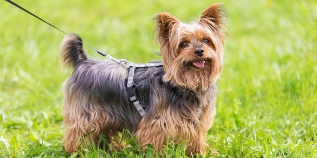 Гипоаллергенные породы собак: йоркширский терьер