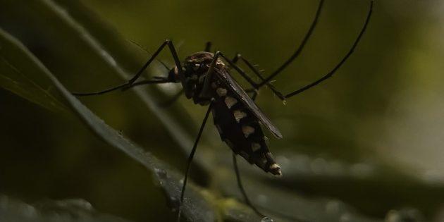Комар эволюционирует