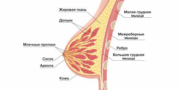 Выделения из сосков: строение груди