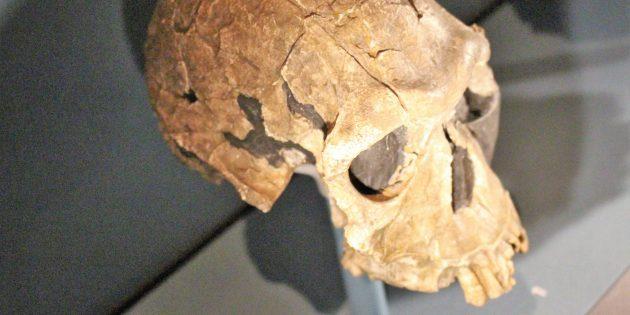 Череп человека умелого в Музее естественной истории в Лондоне