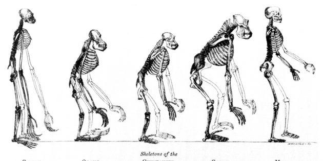 Древние люди: сопоставление скелетов обезьян и человека