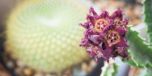 Травы и добавки для похудения: караллума фимбриата