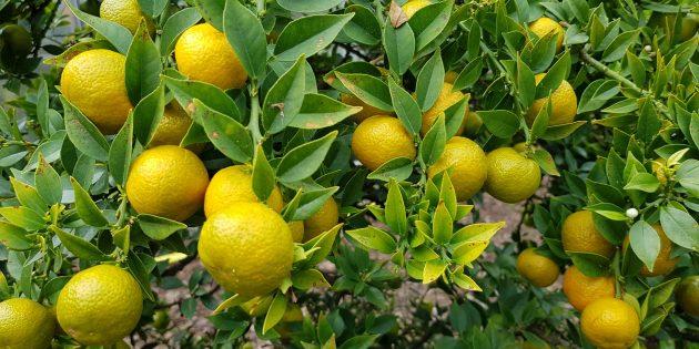 Травы и добавки для похудения: горький апельсин