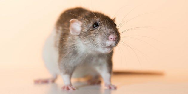 Домашняя крыса дамбо