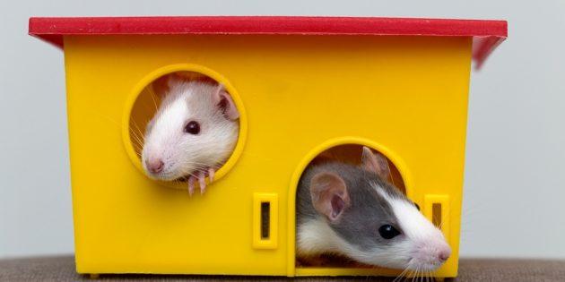 Для содержания домашних крыс понадобится домик