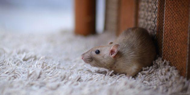 Домашняя крыса стандарт