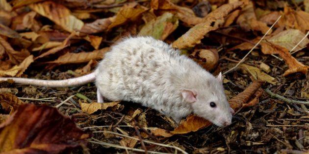 Домашняя крыса рекс