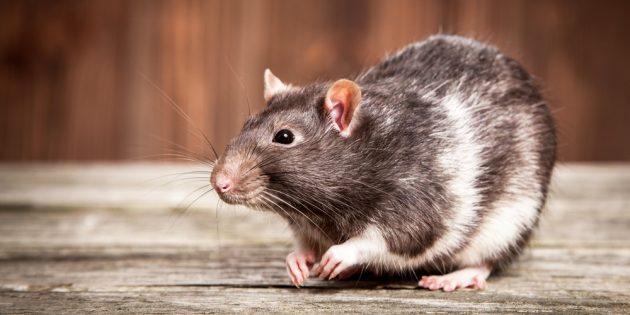 Бесхвостая домашняя крыса