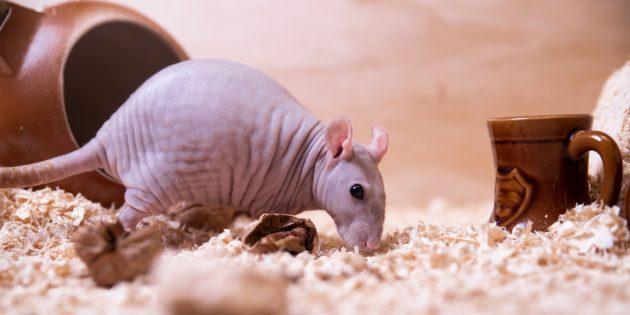Декоративная крыса сфинкс