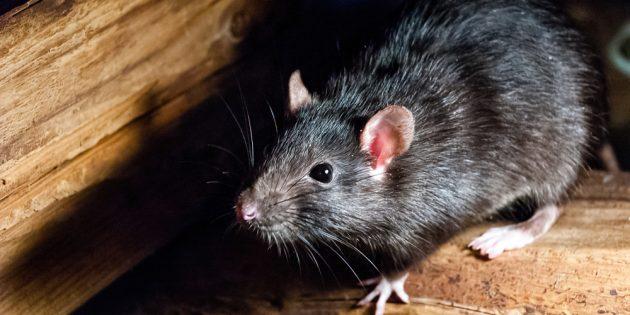 Щетинистая декоративная крыса