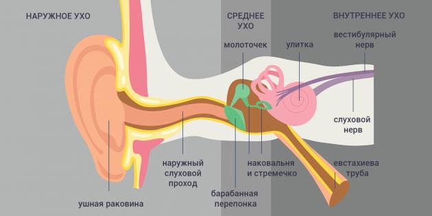Что делать, если заложило ухо: строение уха