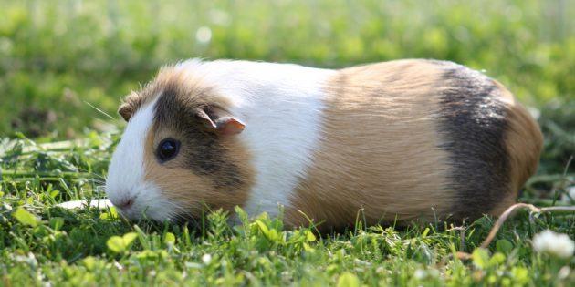Гладкошёрстная морская свинка с маркированным окрасом