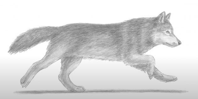 Реалистичный волк в движении