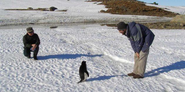 Антарктика: пингвин знакомится с исследователями