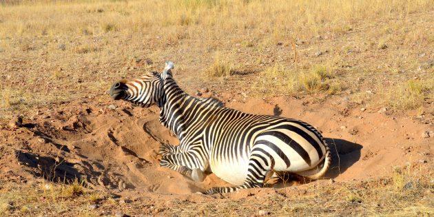 Тайны мира: зачем зебре полоски