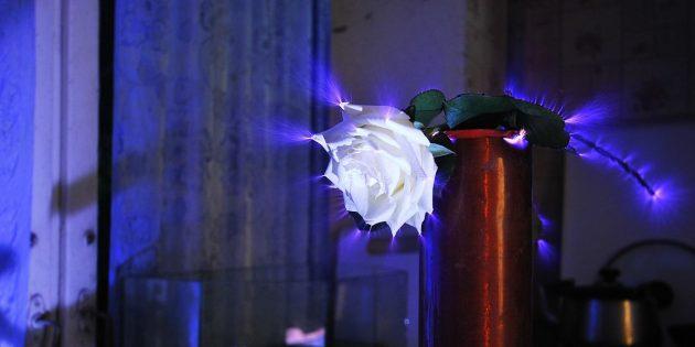 Что такое бионергетика: коронный разряд вокруг розы (эффект Кирлиана)