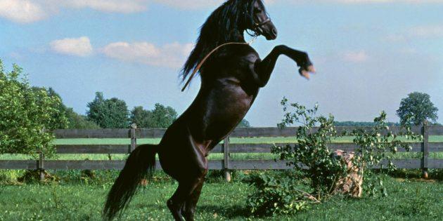 Кадр из фильма про лошадей «Чёрный скакун»
