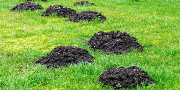 Кучи рыхлой земли, указывающие, что на участке завелись кроты