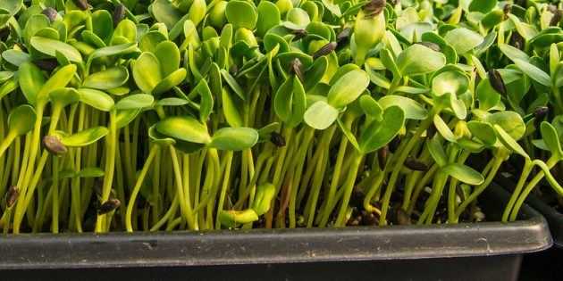 Огород на подоконнике: микрозелень