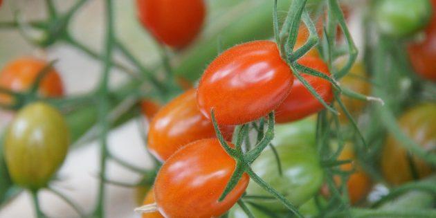 Огород на подоконнике: томаты черри