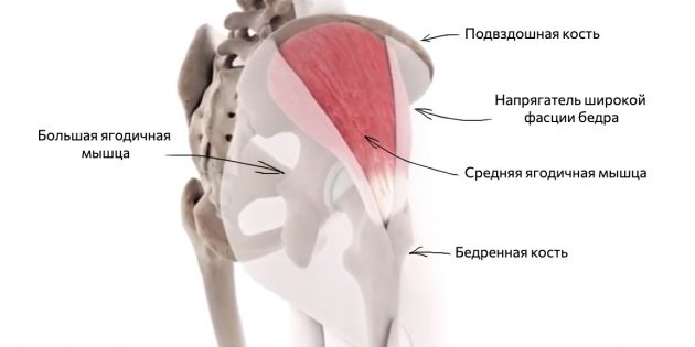 Где находится средняя ягодичная мышца