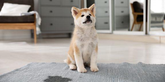 Как приучить щенка к пелёнке или лотку