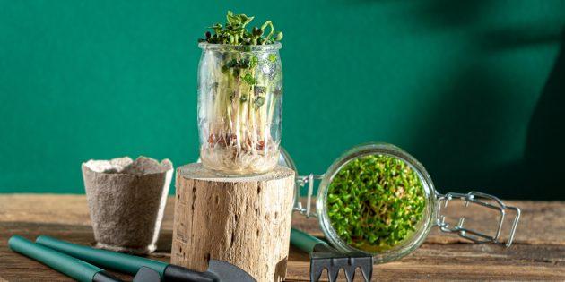 Как вырастить микрозелень в стеклянной банке